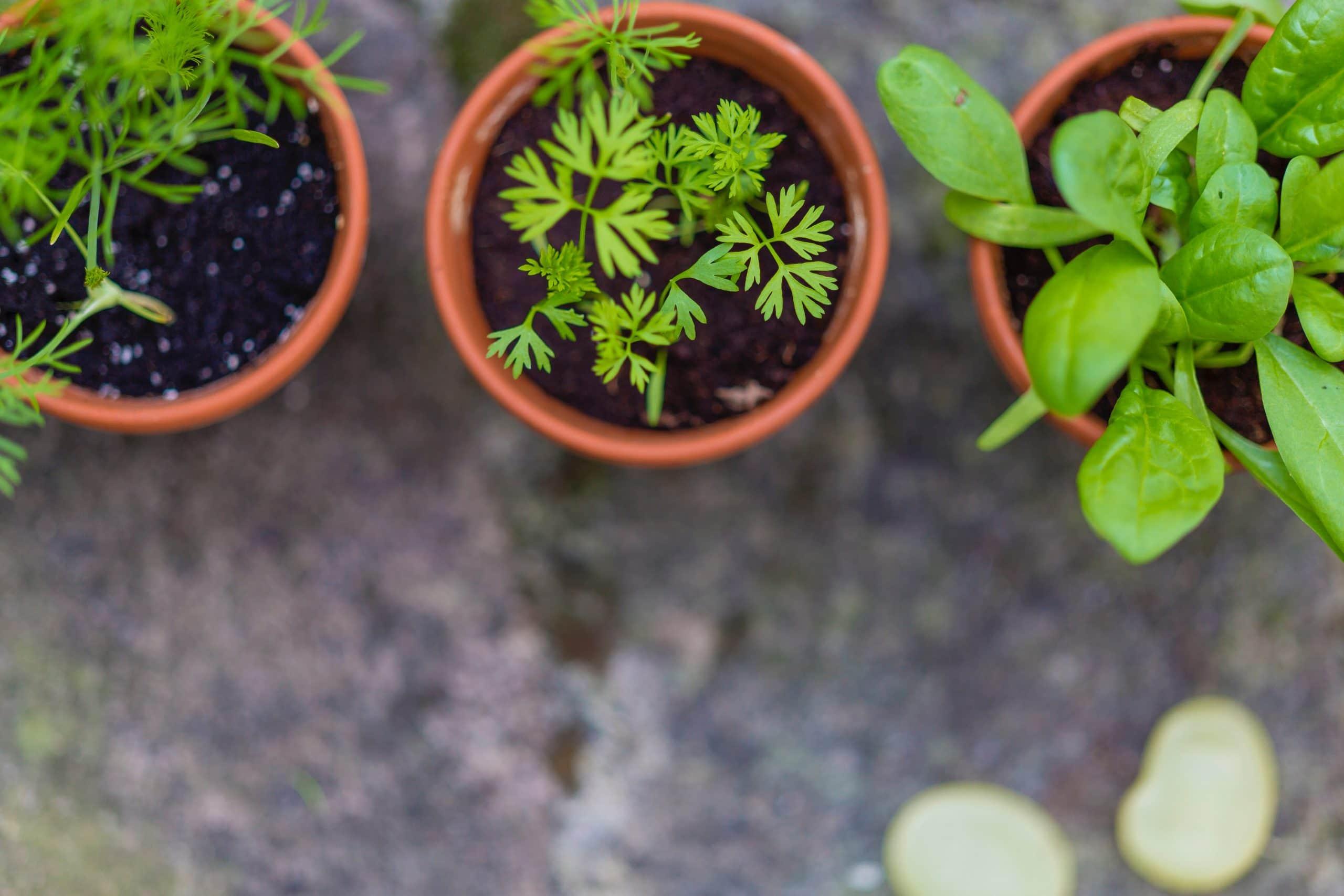 Bahçeniz yok ise balkonunuzda veya evinizde küçük saksılar içerisinde nane, fesleğen gibi taze otları keyifle yetiştirebilirsiniz.