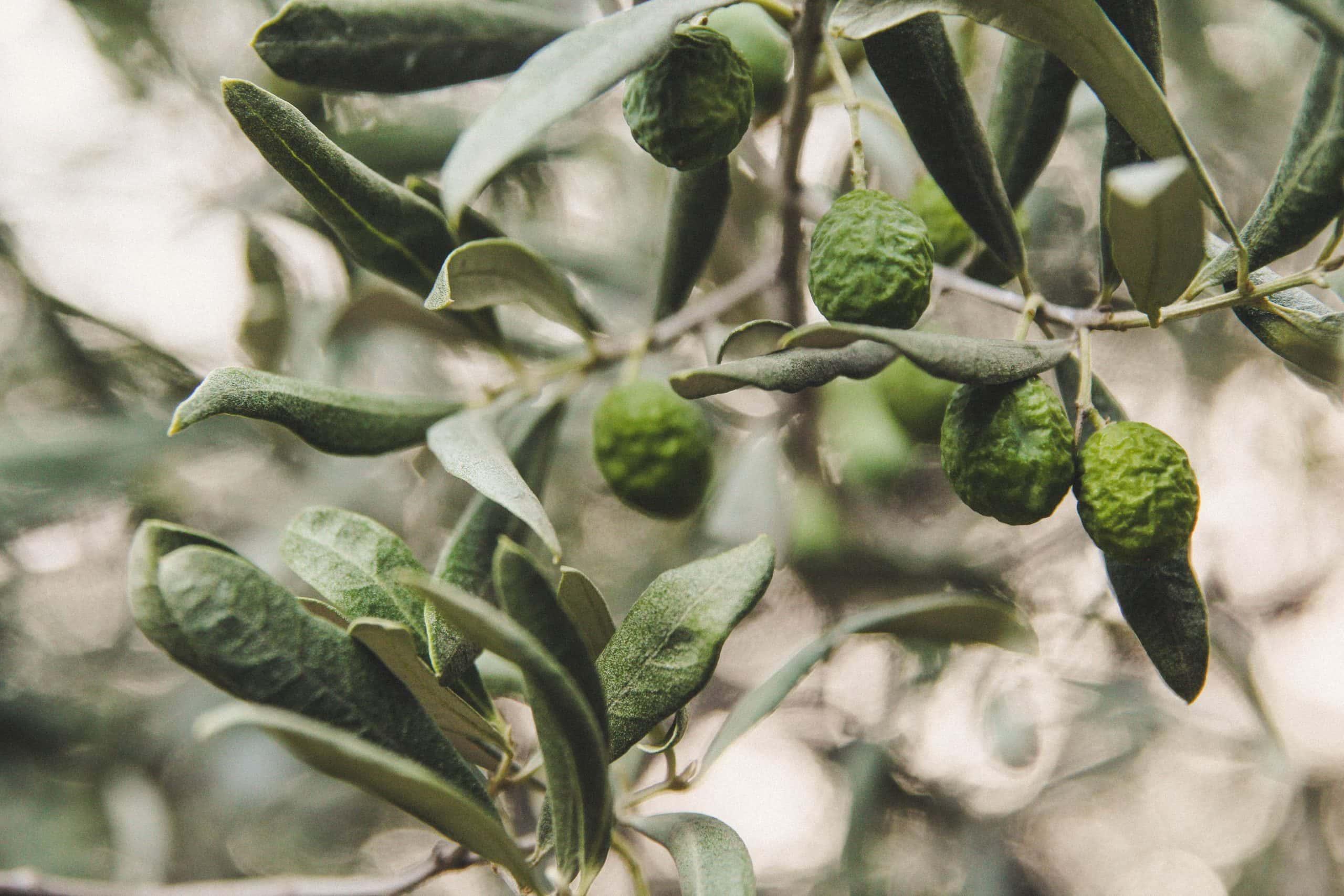 Tekli ve çoklu doymamış yağ asitlerine sahip olan yağlı tohumlar, yağdan sağlanan enerjinin %35-40'lık bir kısmını oluştururken, yağlarda olmazsa olmaz zeytinyağıdır.